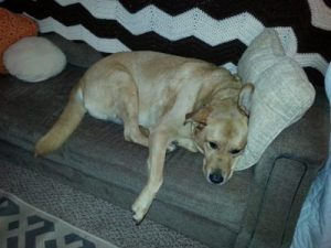 Nov 14 Chewie claiming sofa in 5th wheel