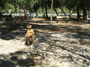 Chewie getting some off-leash exercise at a nice dog park