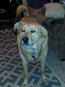 Chewie wearing his Mardi Gras beads