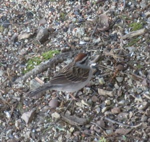 Chipping Sparrow?