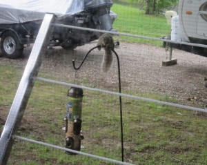The squirrel balancing before pouncing on the feeder