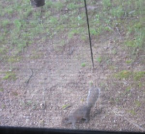 The squirrel, fallen in defeat