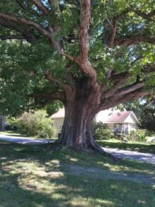 The trunk of the oak tree in feature photo.