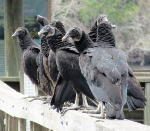 Black vultures just feet from me on boardwalk