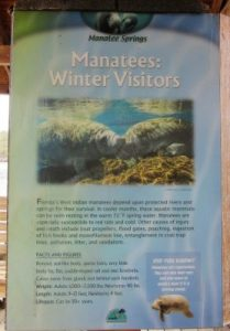 Manatees, the winter visitors