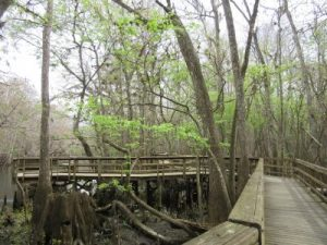 Board walk through the hardwood marsh to the Suwannee River