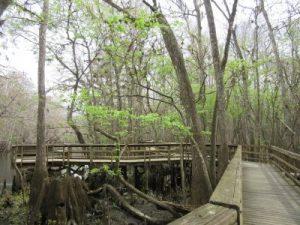 Board walk through the hardwood marsh to the Suwannee River