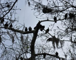 Black vultures in the trees when Jim came there
