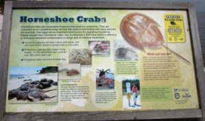 Info on Horseshoe Crabs