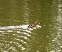 Mad at Chewie, duck is quacking up a storm