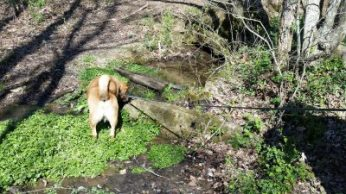 Chewie's thirsty; checking out water flowing into stream