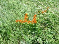 prairie grass blooms