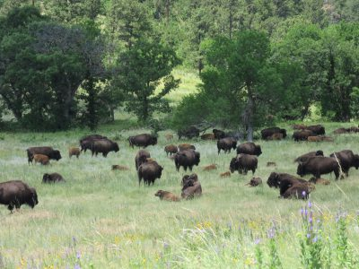 Part of the meandering herd of bison