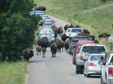 Bison crossing the road in no hurry
