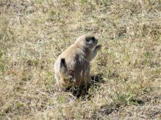 Prairie dog from the huge town