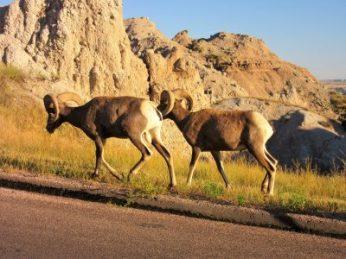 Bighorn goats