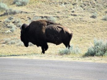 Our first bison in the park, we think older