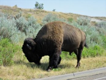 Bison near the road as we leave