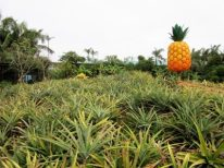 Pineapple fields