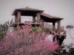 Nago Castle Park viewing tower above cherry trees