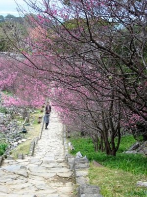 Cherry trees along steps at Nakijin Castle