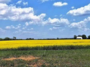 Fields of beautiful yellow rape (canola) in bloom