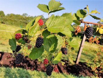 Blackberries on bush - varying ripeness