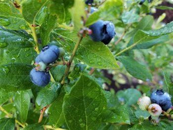 Blueberries on a dew-wet bush